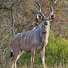 Majestic Kudu by Rob  Southey