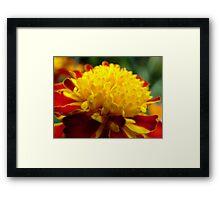 Marigold Framed Print