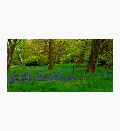 Bluebell Glade Photographic Print