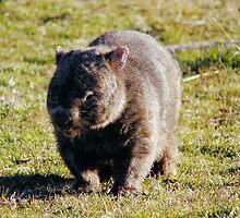 Wombat by Kym Bradley