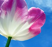 Pink and white tulip by flips99