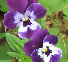 A purple pansy by TedT
