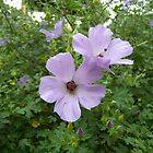 Native Hibiscus by Kay Cunningham