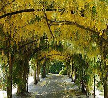 Laburnum Arch by AnnDixon