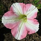 Petunia 'Pink Star' by MidnightMelody