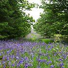 bluebells woods stockhill    nr wells... by mark tabrett