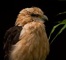 Yellow Headed Caracara by JMChown