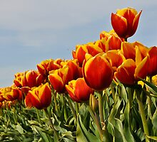 Red and Yellow Tulips by Jim Adams