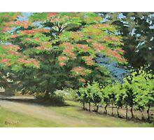 Vineyard Mimosa Photographic Print