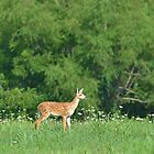 Fawn in field of flowers by Ben Waggoner