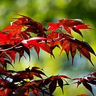 Red Leaves by njumer