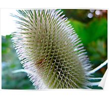 Teasel weed Poster