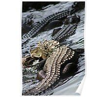 American Alligators! Poster