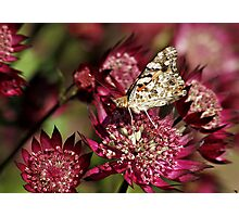 Butterfly on Astrantia Major in NESS GARDENS,  Cheshire Photographic Print