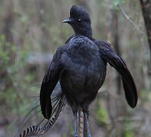 The stance. Superb Lyerbird. by Donovan wilson