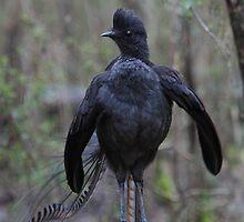 The stance. Superb Lyerbird. by Donovan wilson
