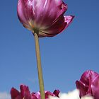 Purple Tulip by taztravels