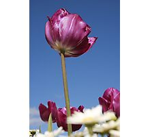 Purple Tulip Photographic Print