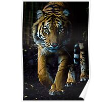 Tiger at Melbourne Zoo Poster