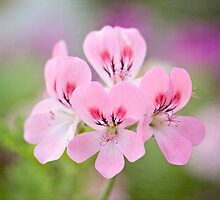 Summer in a pot: pink geranium by Zoe Power