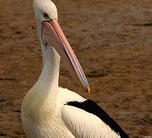 pelican 003 by Karl David Hill