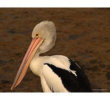 pelican 005 Photographic Print