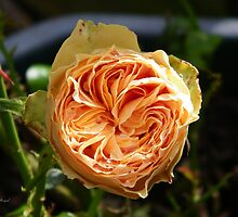 Apricot Rose by LoneAngel