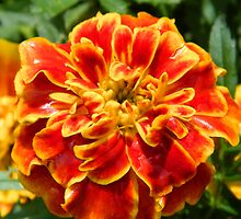 Marigold    ^ by ctheworld
