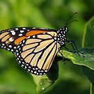 Good Morning Monarch by Robin Clifton