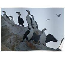 Cormorants on the rocks - Glenelg, South Australia Poster