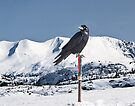 Raven @ Summit by Yukondick