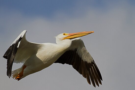 White Pelican Departure by William C. Gladish