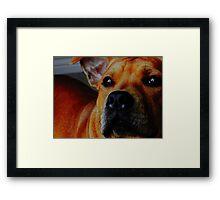 Staffordshire Bull Terrier. Framed Print