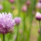 Chive flowers by Alexh