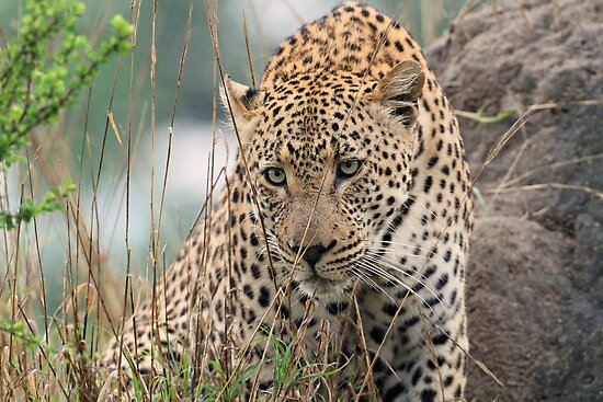 A stalking leopard by jozi1