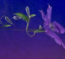 Purple Passion by enchantedImages
