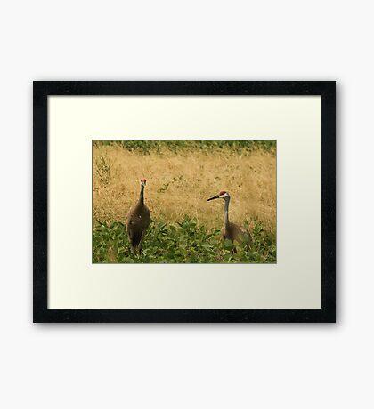 Pair of Sandhill Cranes Framed Print