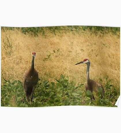 Pair of Sandhill Cranes Poster