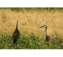 Pair of Sandhill Cranes Photographic Print