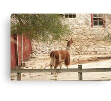 Llama in Courtyard Canvas Print