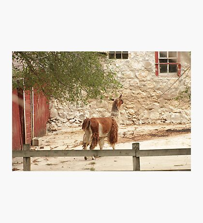 Llama in Courtyard Photographic Print