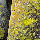 11/7 Low Head lichen by Evelyn Bach