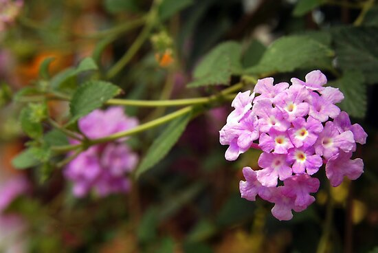 Dainty Lantana by Linda  Makiej Photography
