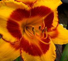 Fooled Me Daylily by James Brotherton