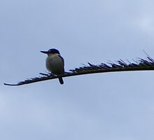 Here fishy, fishy. Forest kKingfisher - Halcyon macleayii by Lydia Heap