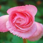 Pink Begonia by Judy Barford
