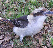 Got anything for Kooka? Laughing Kookaburra - Dacelo novaeguineae by Lydia Heap