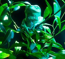 Waxy Tree Frog by Tim Shoen