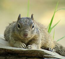 Rock Squirrel ~ Now tell me why your Nuts....... by Kimberly Chadwick
