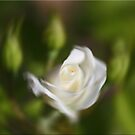 Rose Blur by Chet  King